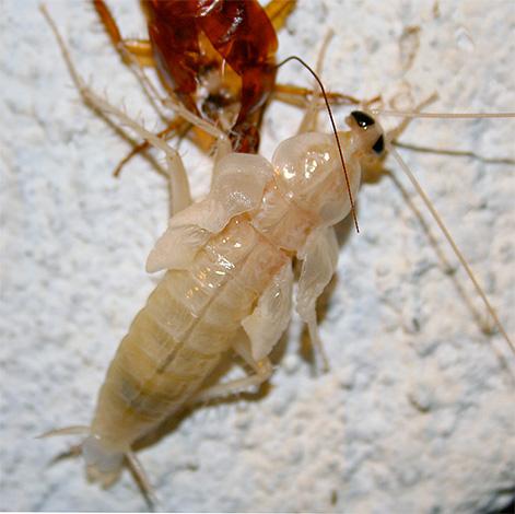 Полинявшая личинка (нимфа) прусака