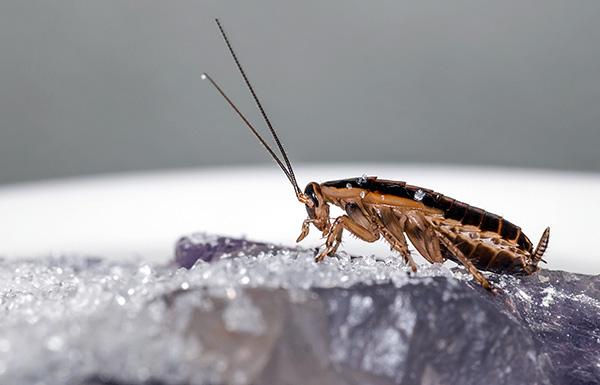 Большинство современных инсектицидных порошков уничтожают тараканов за счет двойного отравляющего действия - контактного и кишечного.