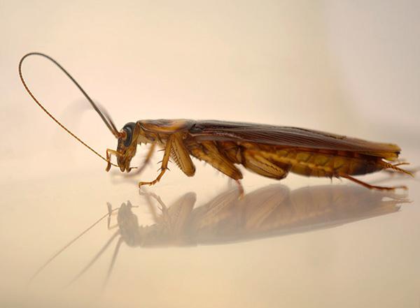 Частицы инсектицида таракан дополнительно проглатывает, когда чистит свои усики и лапки.