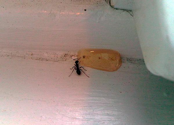 Инсектицидные гели эффективны не только против тараканов, но и против домашних муравьев.