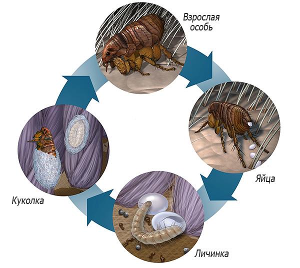 На картинке показан жизненный цикл блохи - взрослая особь откладывает яйца, из которых вылупляются личинки, которые затем превращаются в куколку и вновь во взрослую особь.