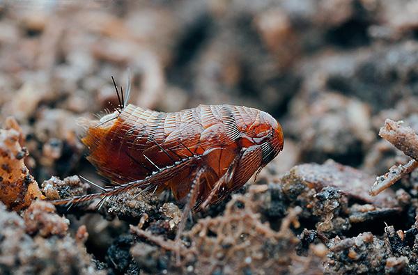 Типичной причиной появления блох в квартирах является способность паразитов самостоятельно передвигаться на более или менее значительные расстояния.