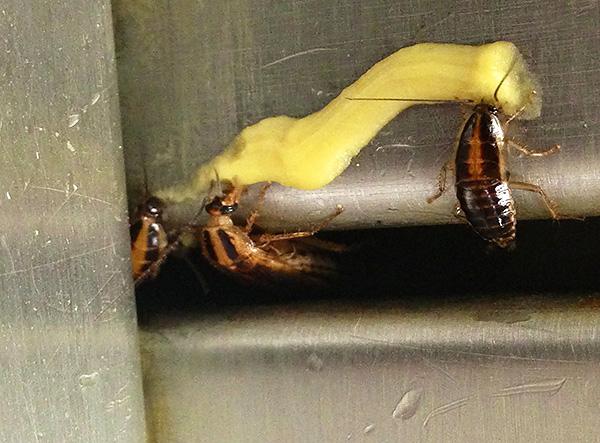 Не стоит забывать, что инсектициды, входящие в состав гелей от тараканов, в некоторой степени токсичны и для человека, а также для домашних животных.