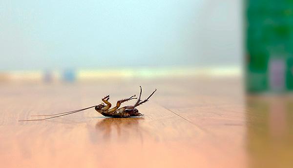 Нельзя позволять домашним питомцам поедать отравленных тараканов...