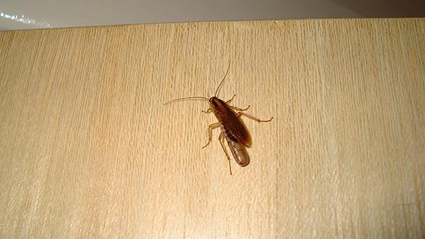 Важно защищать квартиру от повторного проникновения в нее тараканов - прежде всего, из соседних помещений.