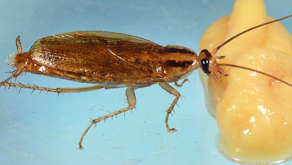 На фото показано, как таракан поедает отравленную приманку...
