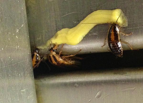 Инсектицидные гели считаются одними из самых эффективных и удобных средств борьбы с тараканами.