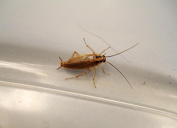 Инсектицидные дусты способны длительно сохранять свои отравляющие свойства, что может быть использовано в целях профилактики от тараканов.