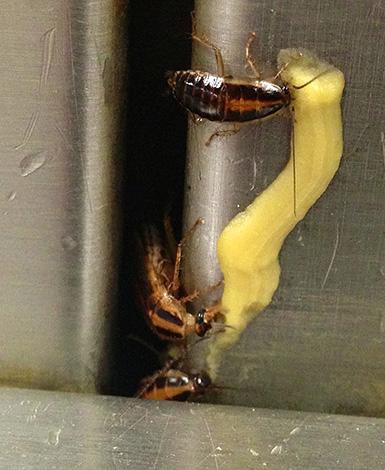 Тараканы поедают инсектицидный гель.