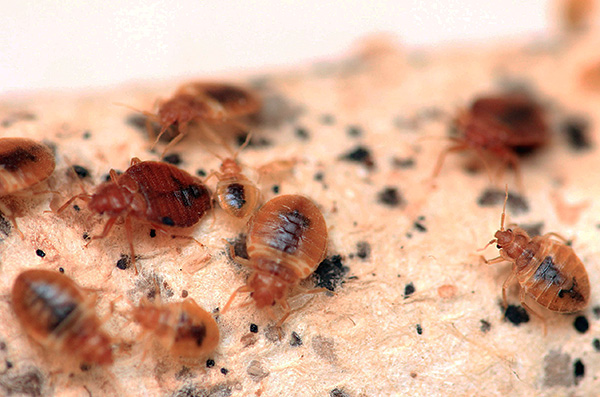 На фотографии показано гнездо постельных клопов в мебели.