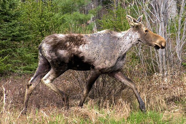 Взрослые особи собачьего и таежного клеща могут паразитировать на крупных млекопитающих - например, на лосях.