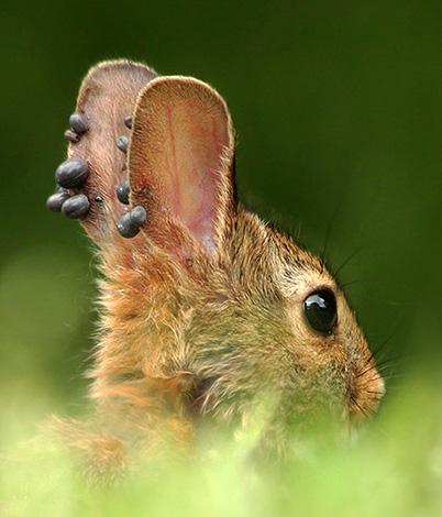 Возбудитель боррелиоза передается от диких животных человеку через укусы клещей.