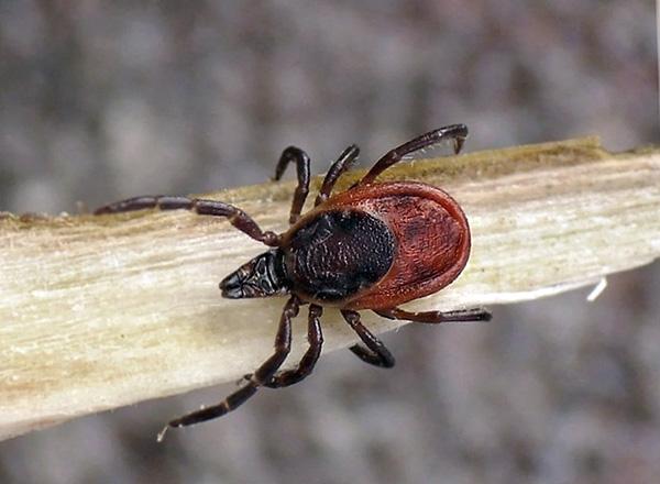 Таежный клещ (Ixodes persulcatus)