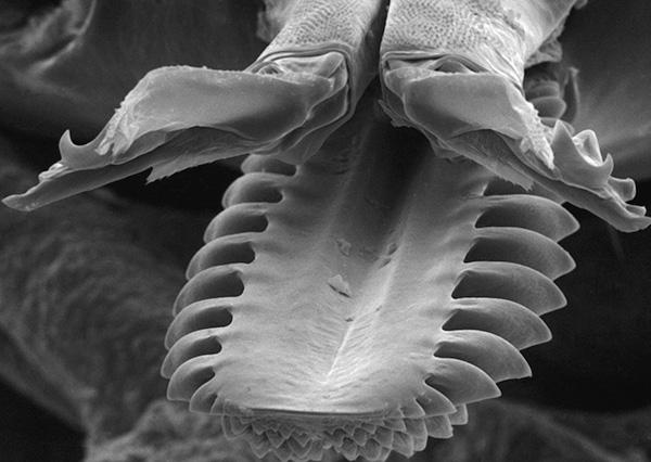 Такое строение ротового аппарата позволяет паразиту надежно удерживаться на теле хозяина в процессе питания кровью.