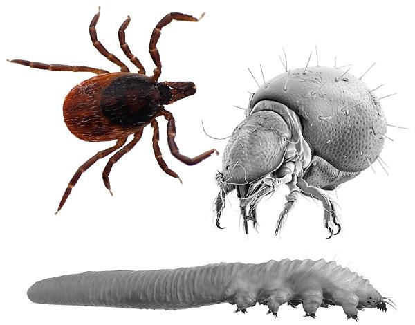 Интересные факты о паразитизме клещей...