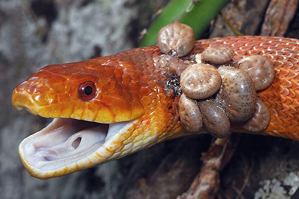 Кровососущие клещи могут питаться на самых разных животных, включая и холоднокровных (например, на змеях, лягушках, ящерицах).