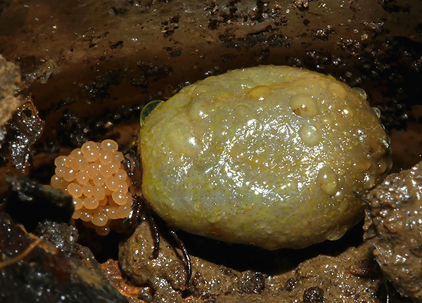 Самка клеща, ранее напившаяся крови, откладывает яйца в почву.
