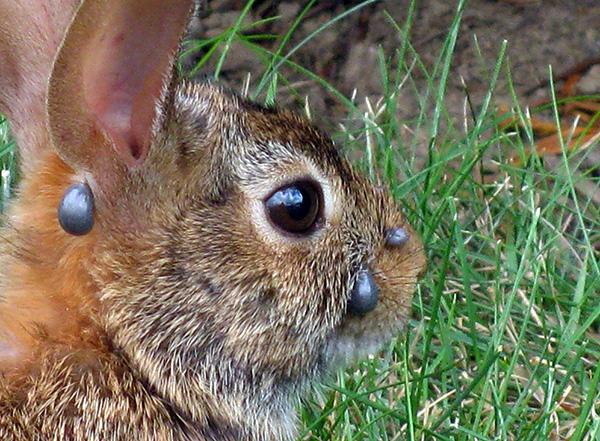 Нимфы иксодовых клещей обычно питаются на мелких млекопитающих и птицах.