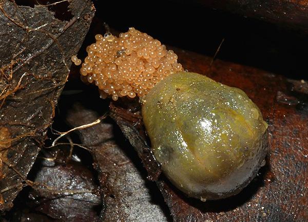 За один раз самка способна отложить несколько тысяч яиц, что повышает шансы паразита на успешное размножение.