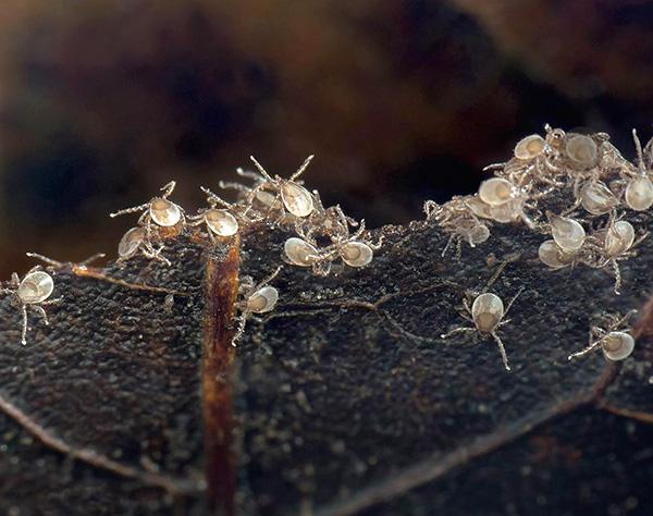 Личинки клеща сразу после вылупления из яиц.