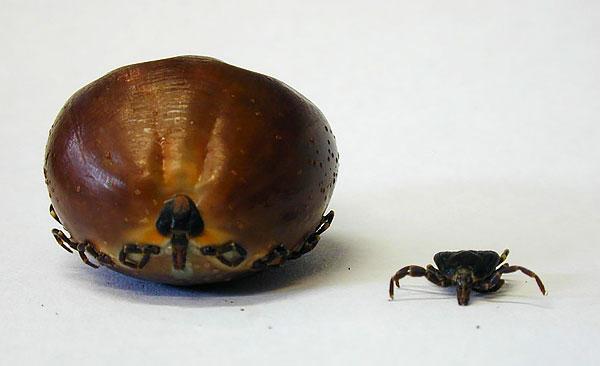 Слева - самка после насыщения кровью, справа - голодная.