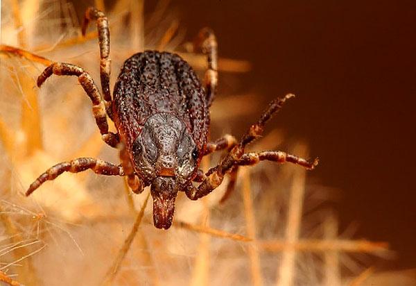 Hyalomma lusitanicum, паразитирующий в основном на крупном рогатом скоте.