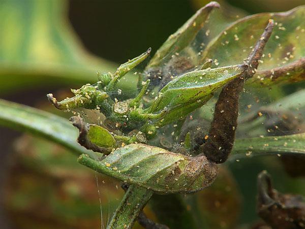 Такая паутина защищает вредителей от хищников и от превратностей погоды.
