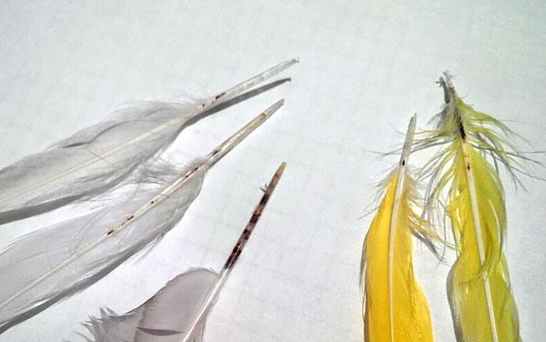 Существенного вреда перьевые клещи обычно не причиняют, поскольку при линьке птицы теряют перья с ними.