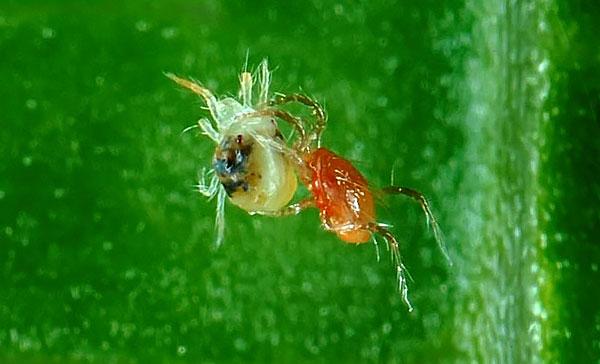 За способность уничтожать паутинных клещей фитосейулюсов разводят в специальных питомниках, а затем выпускают на поля и в теплицы.