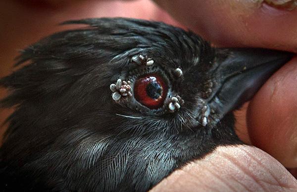 Иксодовые клещи паразитируют также на птицах.