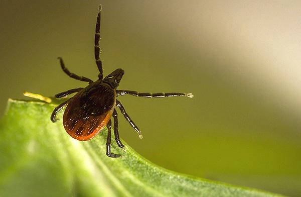 Эти паразиты не прыгают с деревьев, а ждут хозяина, сидя на траве.