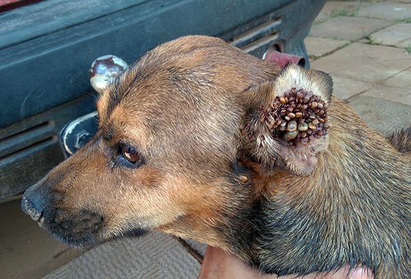 Скопление паразитов в ухе у собаки.