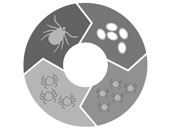 На картинке схематично изображен жизненный цикл иксодовых клещей.