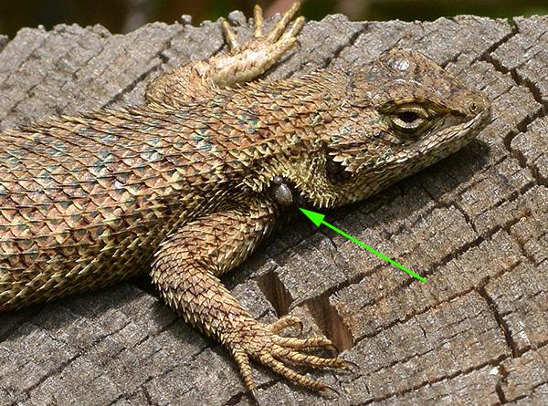 Иксодиды вполне способны питаться на ящерицах и лягушках.