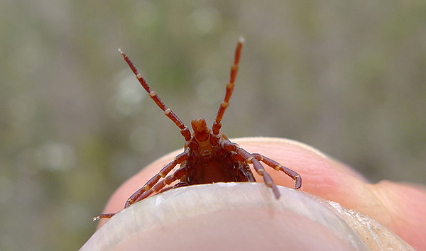 На лапках паразита есть специальные обонятельные органы, с помощью которых он чувствует приближение потенциального хозяина на большом расстоянии.