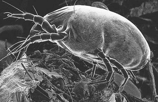 Dermatophagoides pteronyssinus (фото сделано с использованием сканирующего электронного микроскопа).