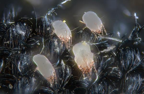Экскременты пылевых клещей содержат пищеварительные ферменты, являющиеся сильными аллергенами для человека.
