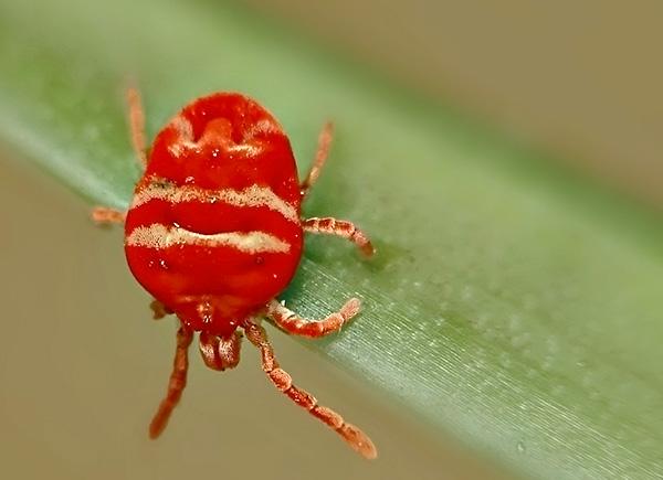 Существует большое количество разных видов краснотелок, отличающихся как цветом, так и размерами.