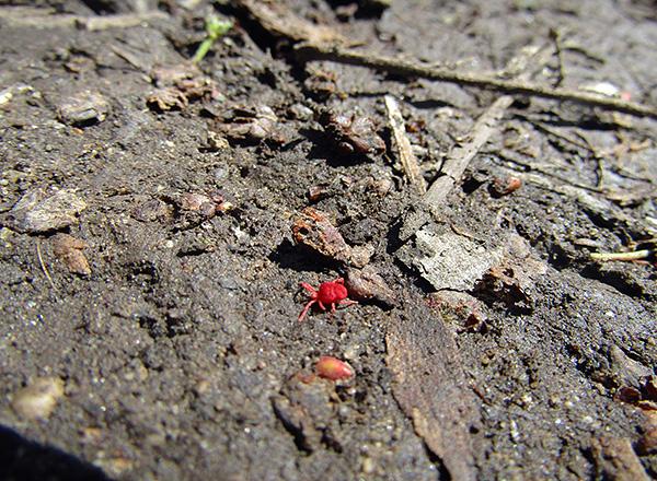 Таких вот красных «паучков» нередко можно встретить на траве или земле даже на огородном участке.