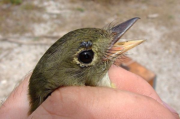 Личинки Ixodes ricinus активно питаются на птицах и мелких грызунах.