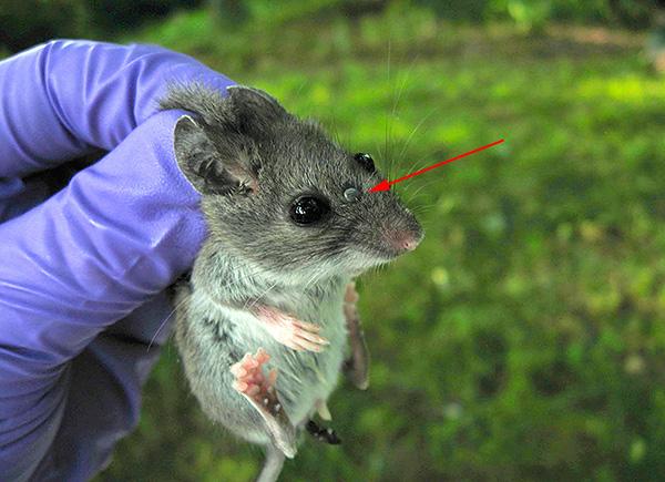 Природными резервуарами клещевого энцефалита являются мелкие грызуны.