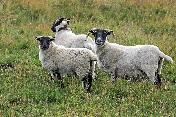 Шотландский энцефалит поражает преимущественно овец, и способен передаваться через укус собачьего клеща человеку.