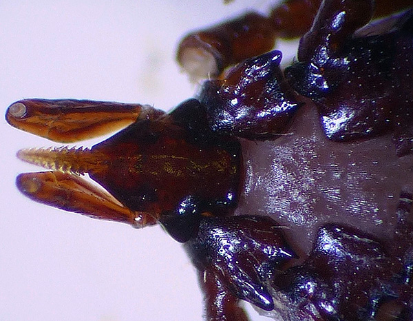 Гипостом паразита за счет множества крючьев очень прочно удерживается в коже хозяина.