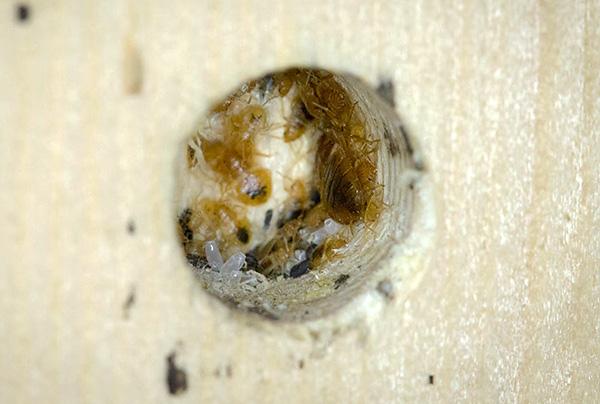 Как правило, клопы устраивают свои гнезда в непосредственной близости к местам отдыха человека.
