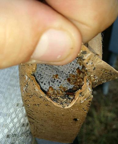 Гнезда паразитов могут скрываться в самых неожиданных местах...