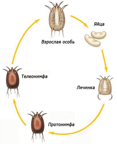 На картинке показан жизненный цикл ушного клеща