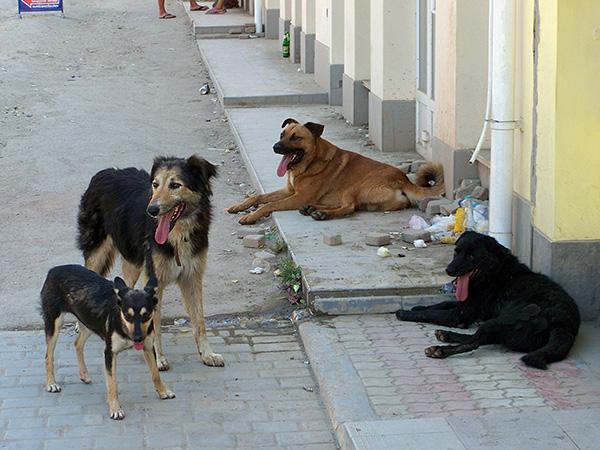 Зачастую заражение ушным клещом происходит при контактах собаки с бродячими животными.