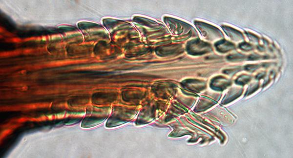 На хоботке паразита имеется множество зазубрин.