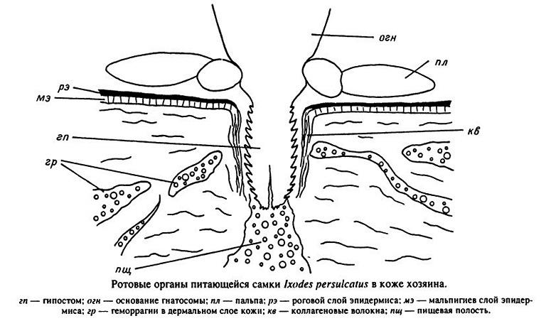 Ротовые органы питающейся самки Ixodes persulcatus