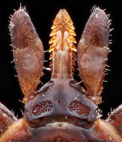 Так выглядит гнатосома иксодового клеща под микроскопом.
